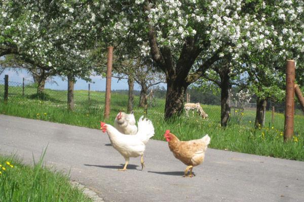 """Hühnerspaziergang"" im Frühling"