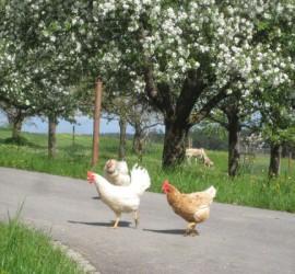 Hühner im Frühling 600 x 400